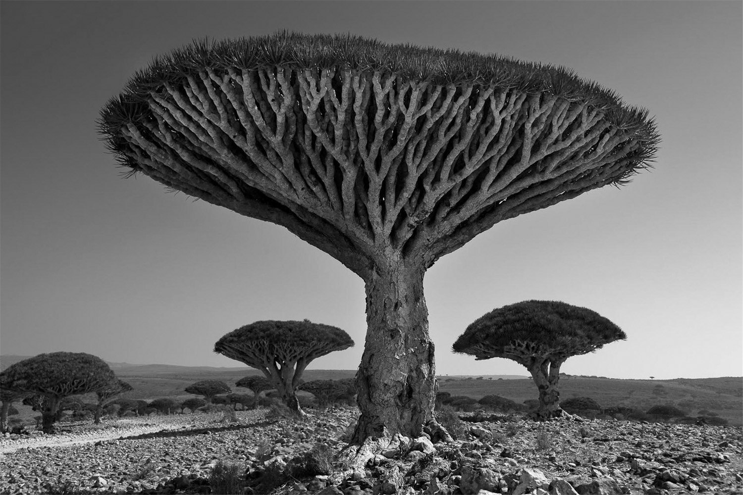 ancient trees portraits of time pdf