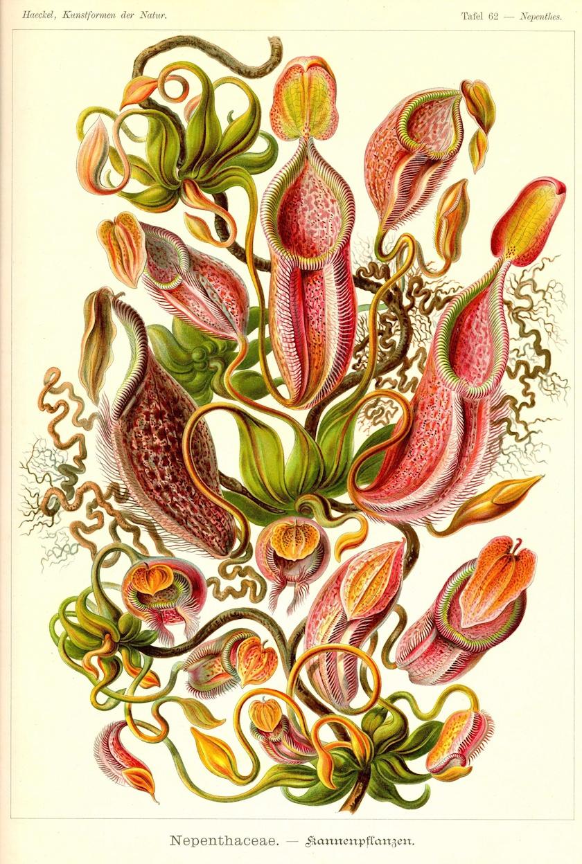 Ernst Haeckel Kunstformen der Natur — DOP
